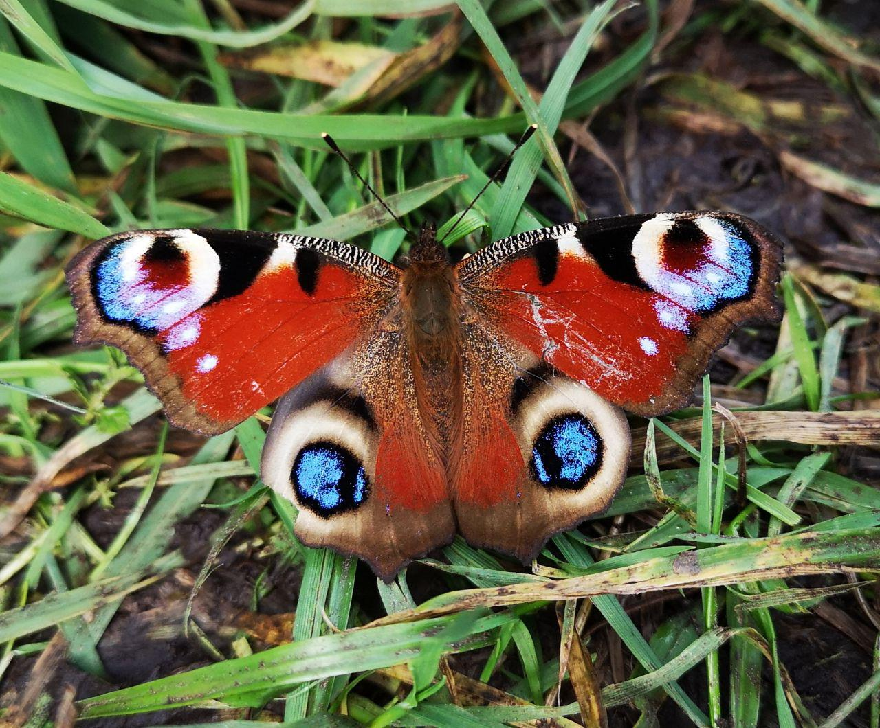 summer butterfly in cumbria